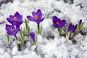 Spring flowers blooming through the snow